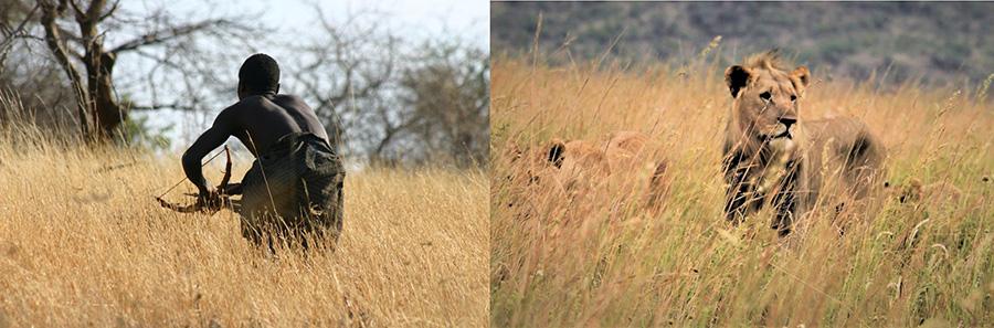 Hadza in Tansania bei der Jagd/Löwen auf der Pirsch (Zwei Bilder)