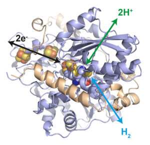Illustration: Structure of the hydrogenase